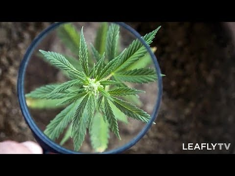 How to Control Pests and Protect Your Cannabis Plant